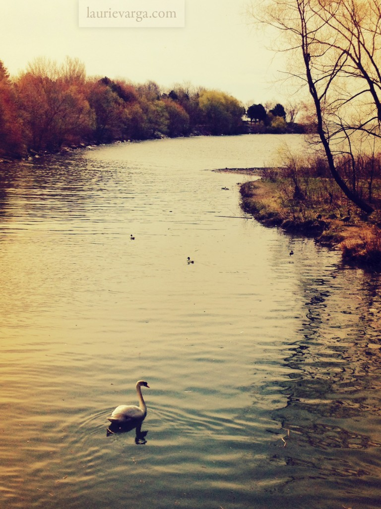 Swan on the water | laurievarga.com